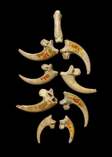 Serres de rapaces,bijoux préhistoriques.Crédit photo: Luka Mjeda (Zagreb).